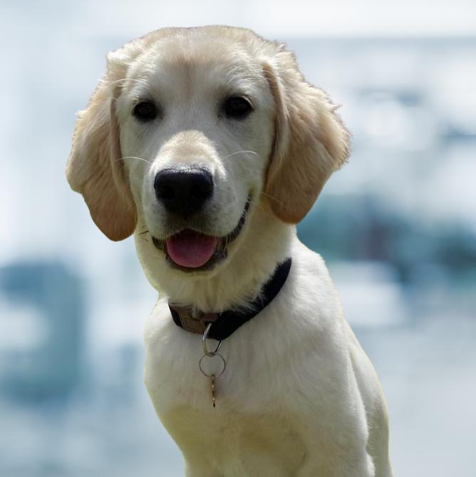 Robbie Evolution Financial Services Office Dog, Golden Retriever